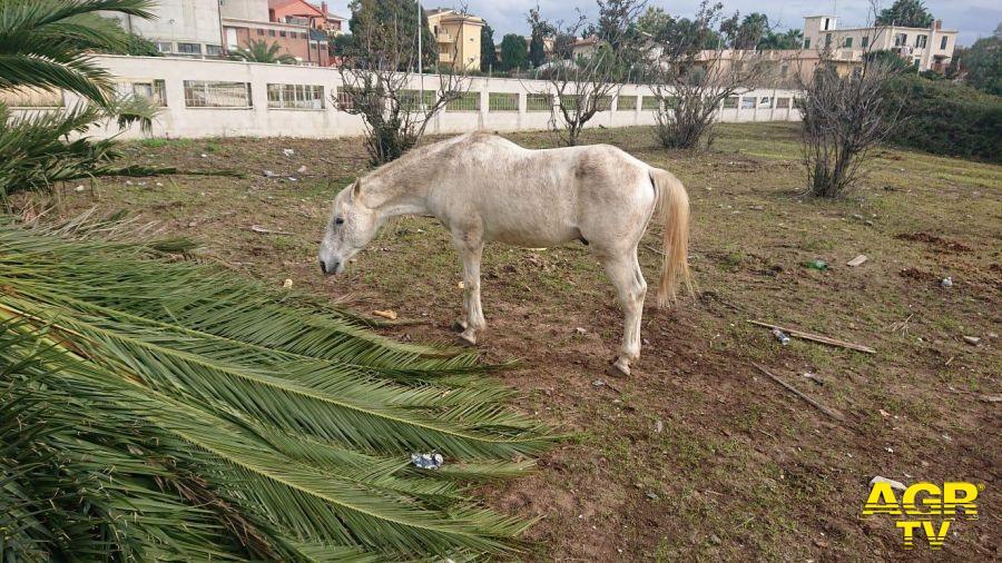 Ardea, cavalli malnutriti ed abbandonati