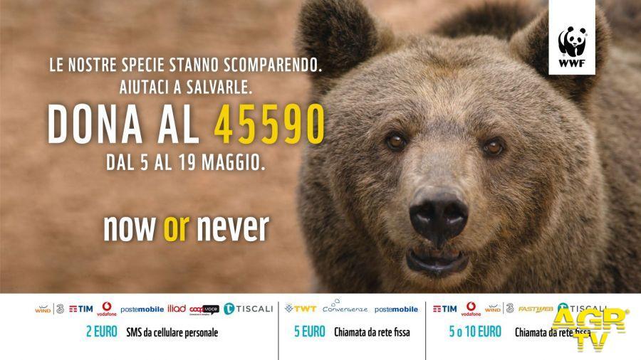 WWF, gli Orsi Marsicano rischiano l'estinzione