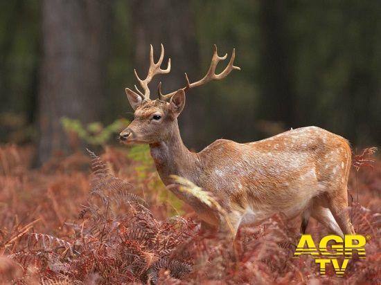 Circeo, denuncia Tutela animali Forza Italia, i daini del Parco destinati agli allevamenti o alle attività venatorie