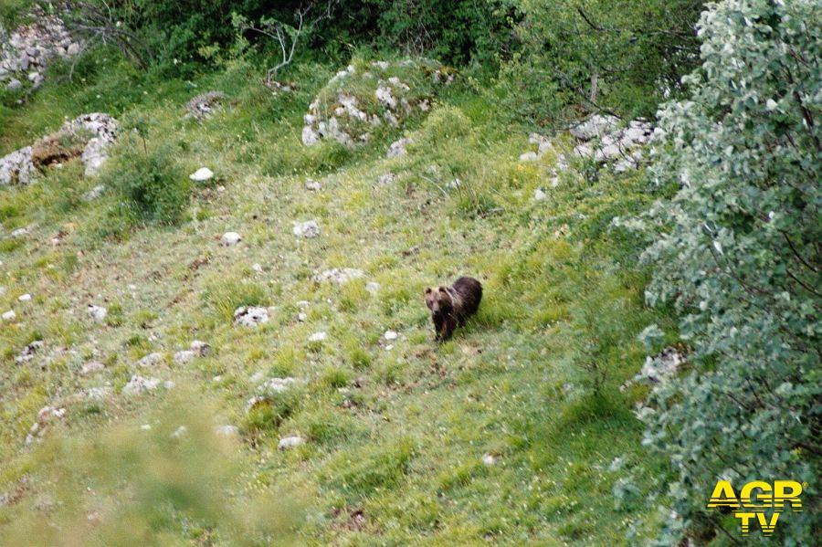 orso marsicano in libertà