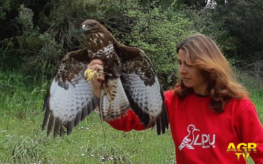 falco liberato dopo essere stato curato
