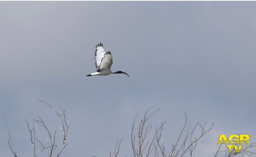 Ibis sacro in volo sul Molise