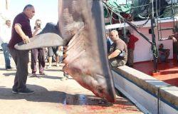 squalo pescato in Tunisia