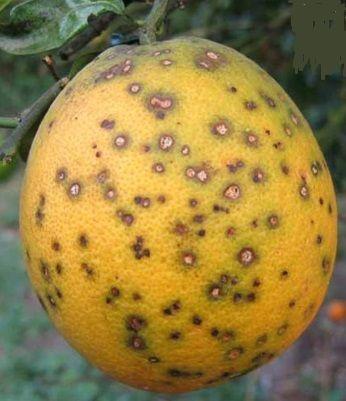 Citrus Black Spot-CBS,