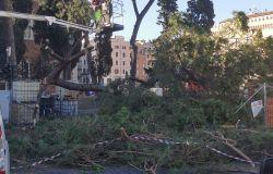 Cade albero a Piazza Venezia: Allarme cocciniglia a Roma?