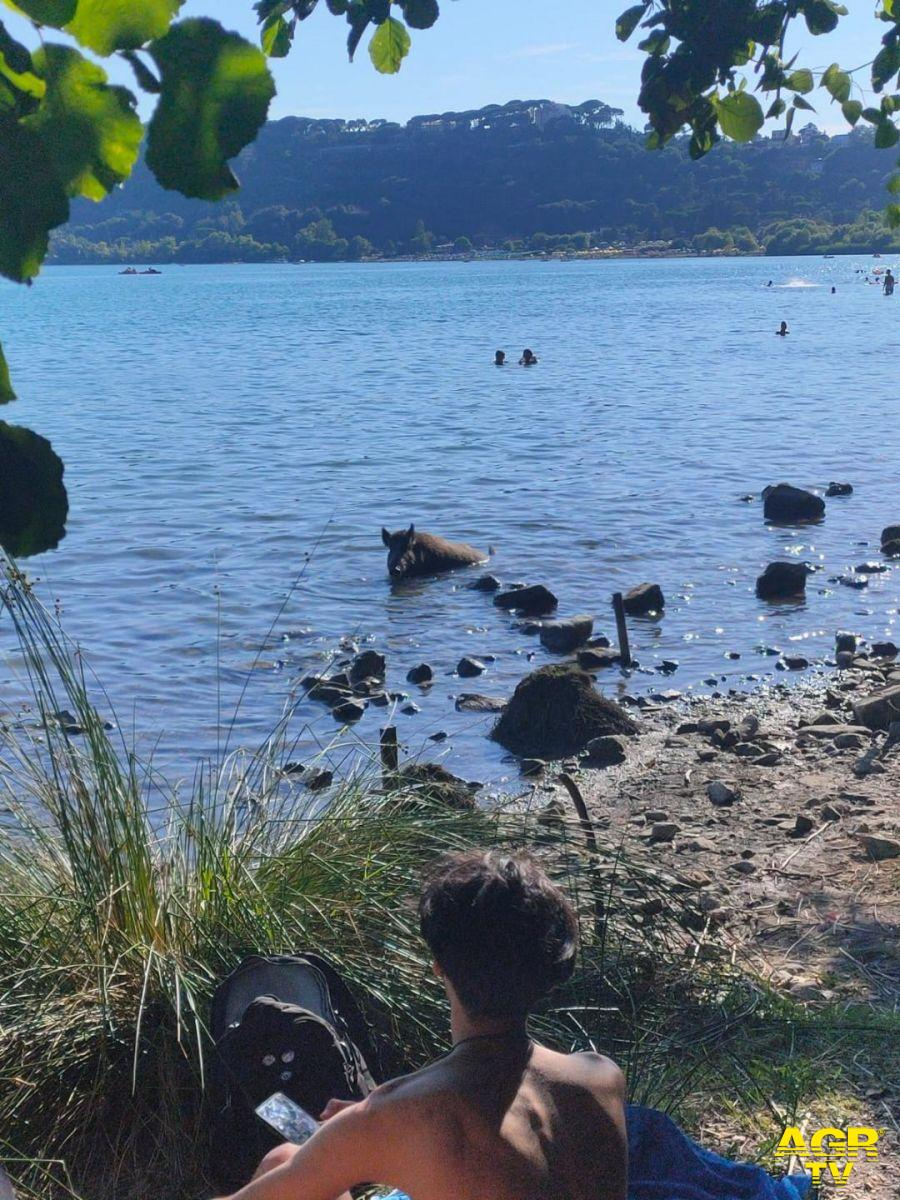 cinghiale che esce dall'acqua lago castelgandolfo