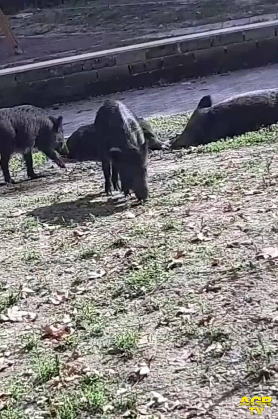 cinghiali nel giardino