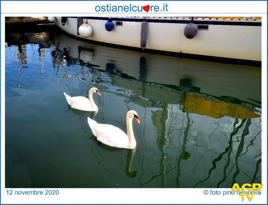 Ostia, due cigni sguazzano nelle acque del porto