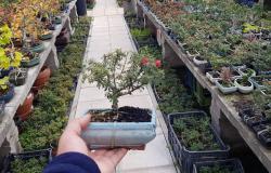 A Natale regala un Bonsai per il Giardino di Roma