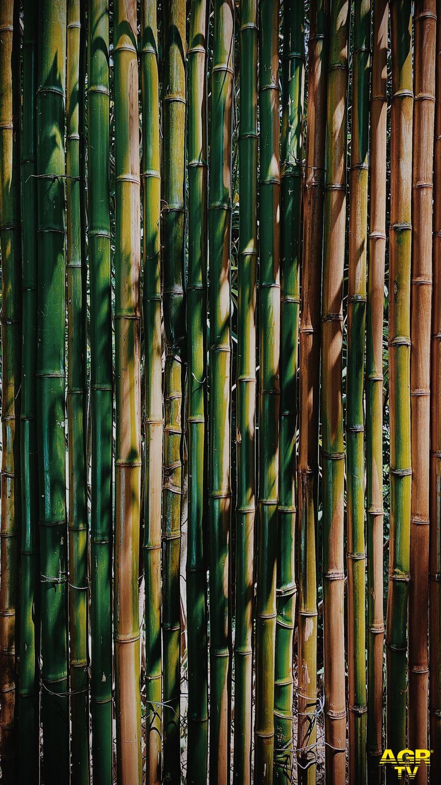 Il bambù gigante alleato dell'ambiente: un ettaro compensa le emissioni annuali di CO2 di circa 40 persone