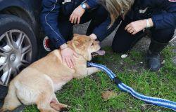 Cane scappa da abitazione e si butta nel traffico, rincorso e salvato a Firenze dalla Polizia municipale