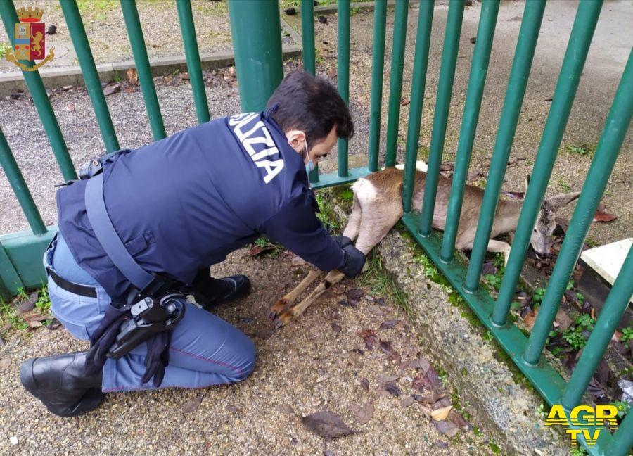 Dopo un giro in centro capriolo resta incastrato in una recinzione in zona Stadio a Firenze