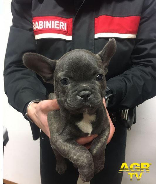 Carabinieri-Comando provinciale di Firenze Scandicci: due persone denunciate per maltrattamento di animali e traffico di animali da compagnia