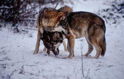 WWF, sempre più difficile...l'amore tra gli animali e le responsabilità sono del genere umano