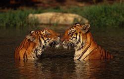tigri Foto WWF