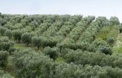 Olivicoltura, la Regione attiva 3,75 milioni di risorse europee per programmi di sostegno