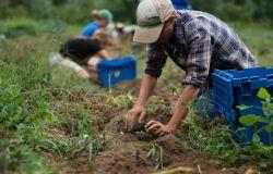 Economia agricola: per l'Italia, nel 2020, valore della produzione delle attività connesse a-11,2%, compenso del lavoro inferiore rispetto a tutti i competitor