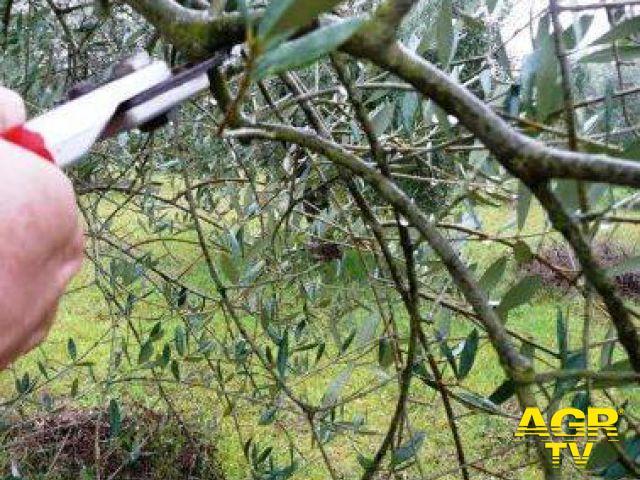 corso di potatura dell'olivo a Montespertoli