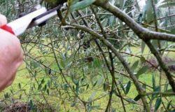 Olea Project: primo corso di potatura dell'olivo a Montespertoli