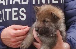 Sequestrati veri cuccioli di lupo in un allevamento per cani pastori
