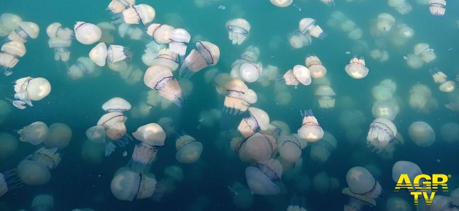 Spettacolare invasione...pacifica delle meduse nel golfo di Trieste