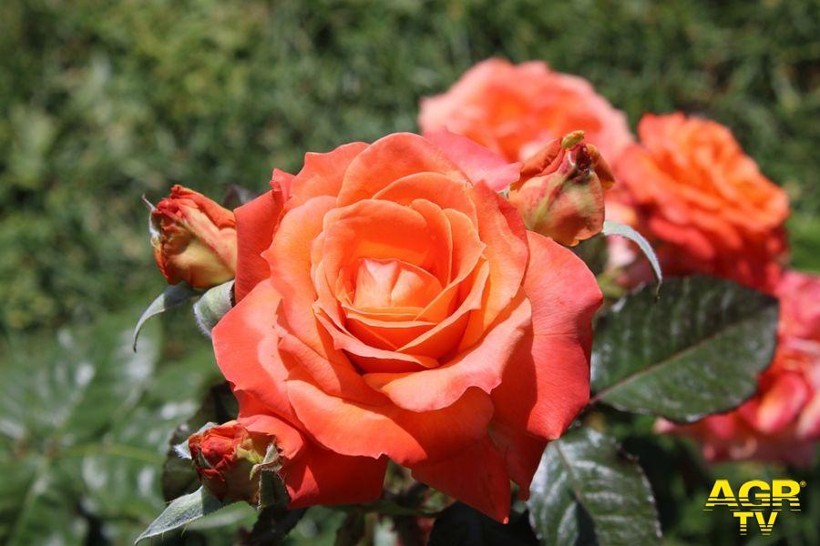 Natale di Roma riapre il roseto all'Aventino. Ingresso free fino al 13 giugno