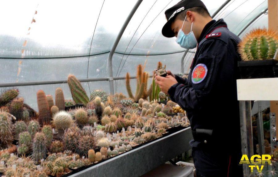 Carabinieri, mille cactus tornano a casa...il traffico illegale avrebbe fruttato 3 milioni di euro