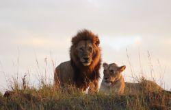 WWF Leoni a rischio estinzione, in cento anni crollato del 90% il loro numero in Africa