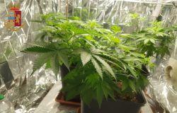 piante marjuana