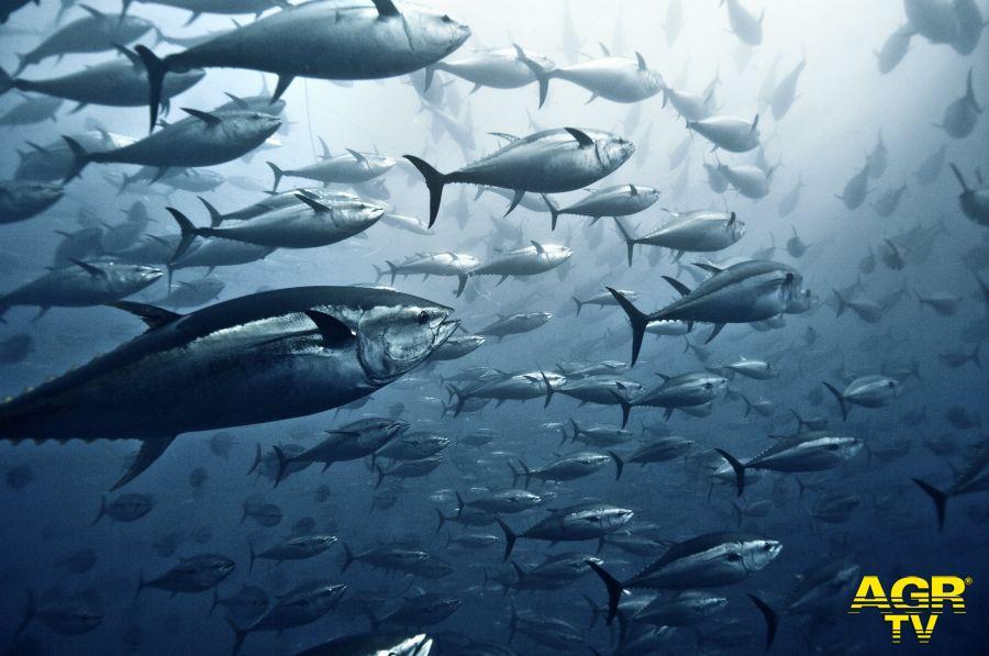 tonni che nuotano