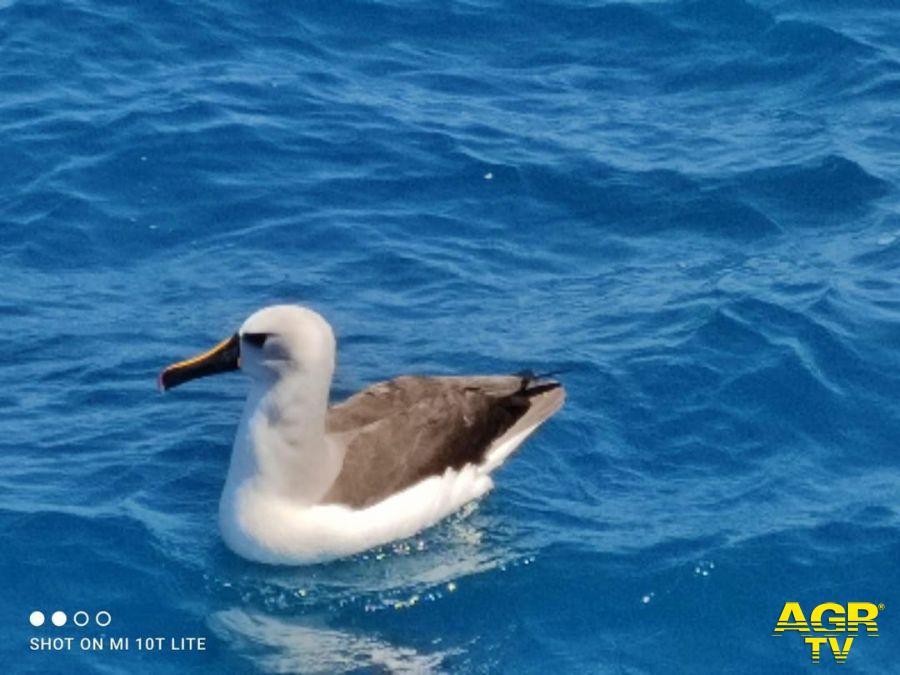 albatro Beccogiallo