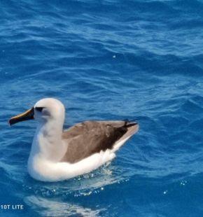 Tor Paterno continua a regalare sorprese, avvistato il primo Albatro Beccogiallo dell'Atlantico in Italia