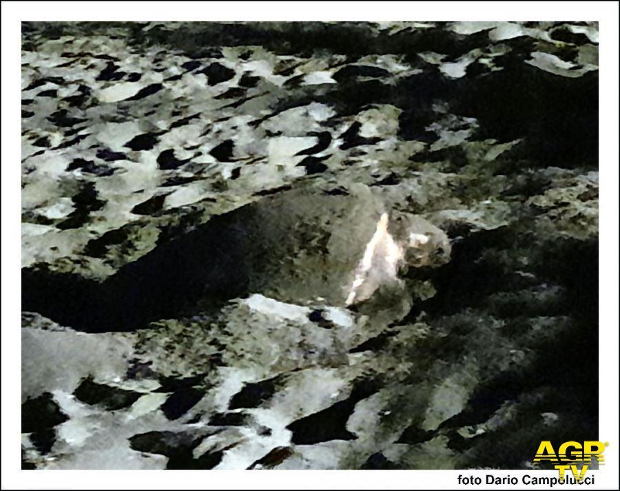 foto tartaruga che depone uova