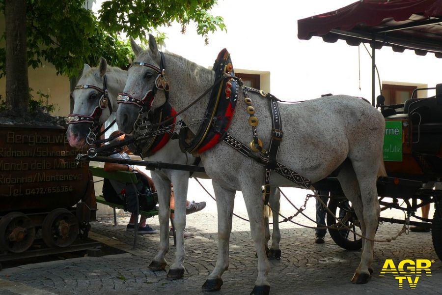 cavalli botticelle