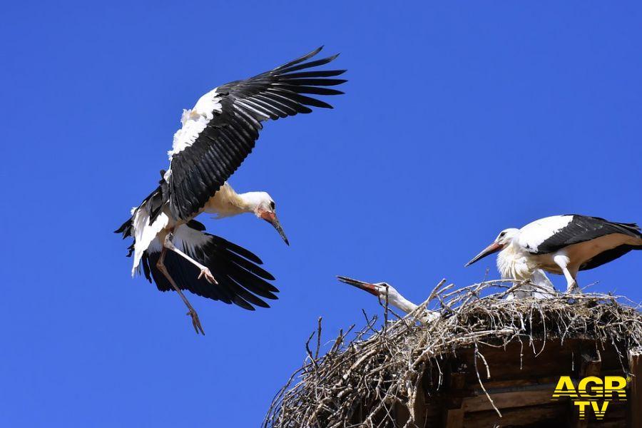 cicogna bianca rientra nel nido