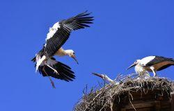 Cicogna bianca, nascite record nelle aree protette calabresi