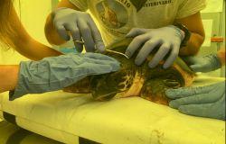 Torvajanica, giovedì sarà liberata la tartaruga marina salvata e curata dal Pronto soccorso mare di Zoomarine