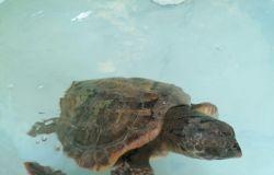 tartaruga curata centro soccorso mare Zoomarine nuota prima del rilascio a mare