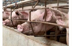 WWF, stop al consumo di carne ed agli allevamenti intensivi