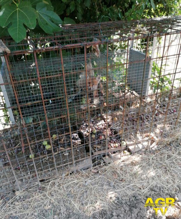 Città Metropolitana di Firenze Cucciolo di volpe utilizzato come esca per catturare la madre muore in gabbia