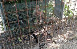 Cucciolo di volpe utilizzato come esca per catturare la madre muore in gabbia