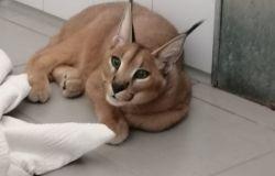 Malibu, giovane esemplare di Caracal, in fuga per una settimana ora è ricoverato nel presidio di Igiene Urbana Veterinaria fiorentino