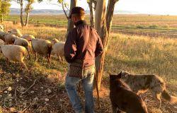 il pastore ed i suoi cani