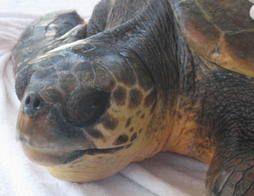 Ostia, tartaruga marina incontra i Guardia Parco a Tor Paterno