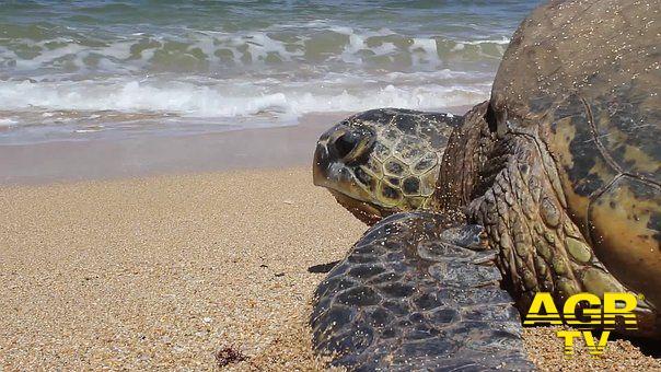 Torvajanica, sterili le uova della tartaruga marina che aveva nidificato sull'arenile