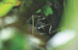 Centroafrica, festa grande nella riserva del WWF per la nascita di un gorilla